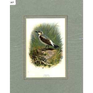 Wheatear Thorburn Old Antique Bird Print C1910 Mounted